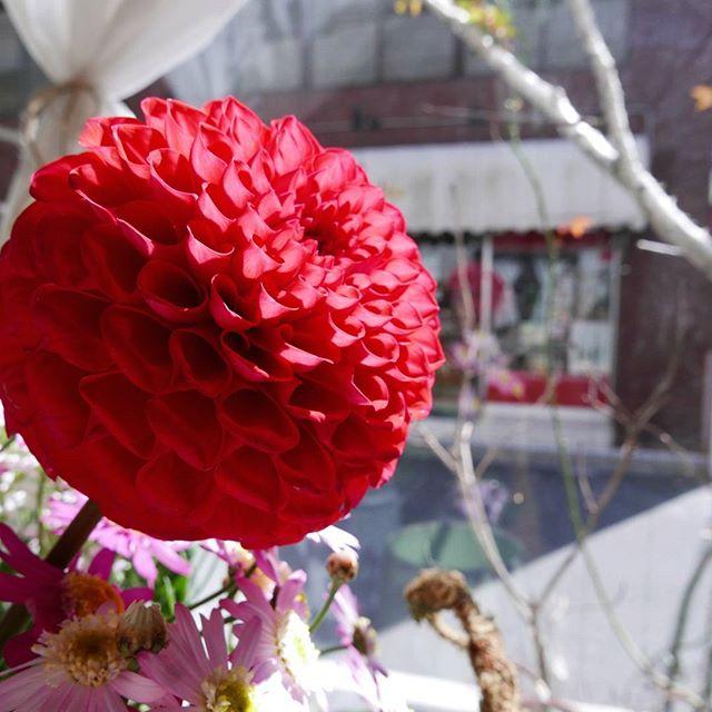 まん丸のダリア.ちなみに奥に見えるお店は#Ambica さん本格的なインドの食材やスパイスが揃っている素敵なお店です.こめての周りには素敵なお店が沢山あるので、周辺散策も楽しいですよ~♪ .#こめて#蔵前#カチクラ#花屋#花のある暮らし#植物と暮らす