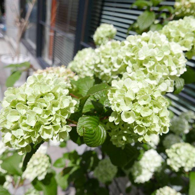 オオデマリ。今年はもりもり。#蔵前#こめて#カチクラ#花屋#花のある暮らし#植物と暮らす