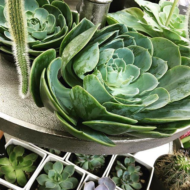 今日の不思議ちゃんはエケベリア♪ まるでグリーンのバラみたい♪#エケベリア #植物と暮らす #サボテン #蔵前こめて #多肉植物のある暮らし #多肉植物