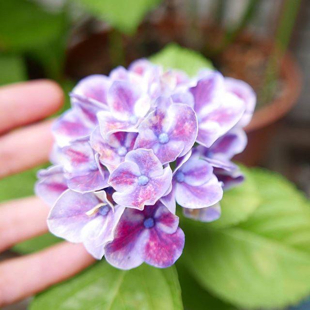 気が付けば梅雨。こめてに1輪だけひっそり咲いていた可愛い子です^^ #こめて #蔵前 #カチクラ #花屋 #紫陽花 #花のある暮らし #植物と暮らす日々